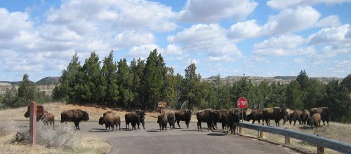 Bison Crossing 2012