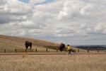 Buckhill bison